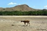 deer on Rinca island, one of Komodo's favorite meal
