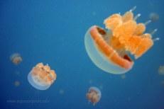 mastigias papua (1 of 4 stingless jellyfish species @ kakaban lake)