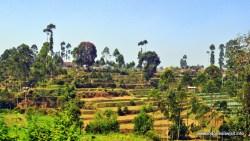 lanskap perkebunan teh
