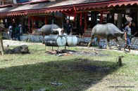 Buffalo as a sacrificial animals at Rambu Solok Ceremony, Palawa, Sadan, 2014-12