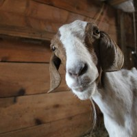 A Goat Called Blessing