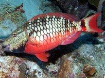 stoplightparrotfish14