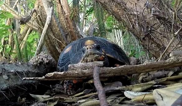 żółw lądowy