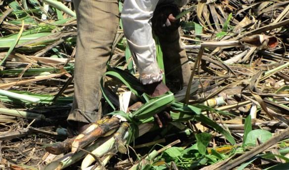River Antoine Estate Grenada - pole trzciny cukrowej, gorzelnia rumu