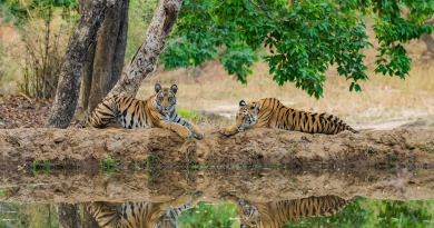 Tigers in Kanha Tiger Reserve