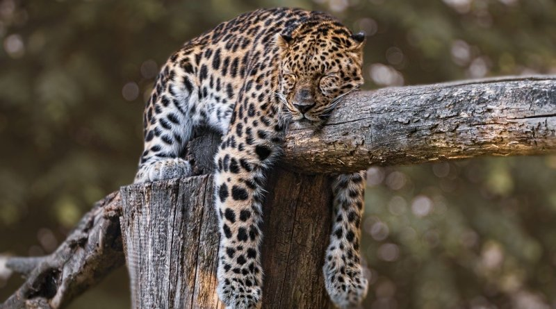 COP13: Boost for American jaguar conservation as iconic, threatened species given vital protection