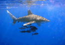 COP13: Urgently needed protection granted to whitetip shark species on brink of extinction