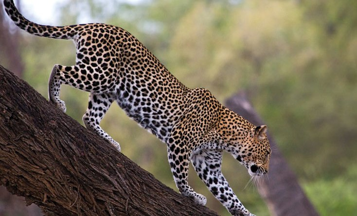 PM expresses happiness over rising leopard numbers