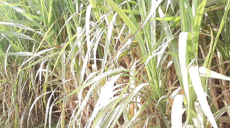 Cabinet approves assistance of Rs 3500 Cr for sugarcane farmers | indusdictum