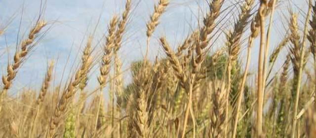 wheat (640x280)