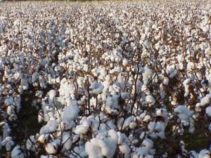 Cotton Sindh'