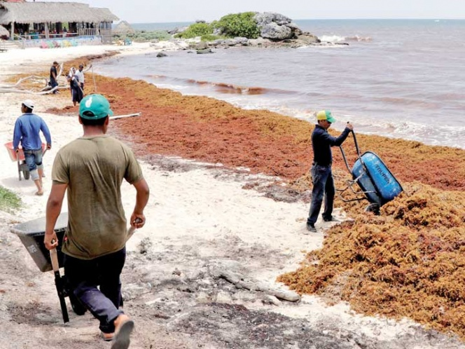 Reportan pérdidas de hasta 60% por sargazo en Quintana Roo