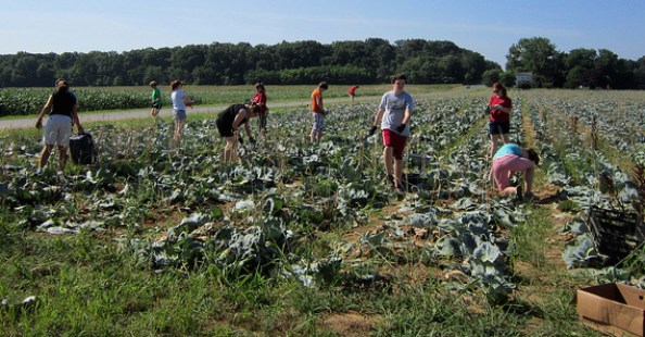 Gleeners harvesting cabbage overlooked by picking machines reduce food waste and illustrate the practical philanthropy practiced by The Daily Table
