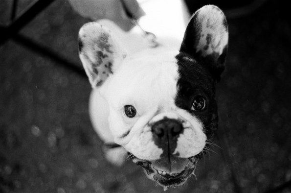 Black and white photo close up of a French bulldog.