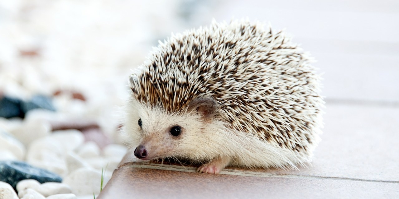 Hedgehogs Do Just Fine in Cities
