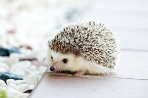 urban hedgehog