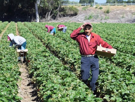 A photo of farm workers tending to field crops.