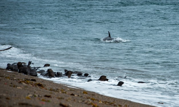 Stranded Orca Freed from Alaska Shore