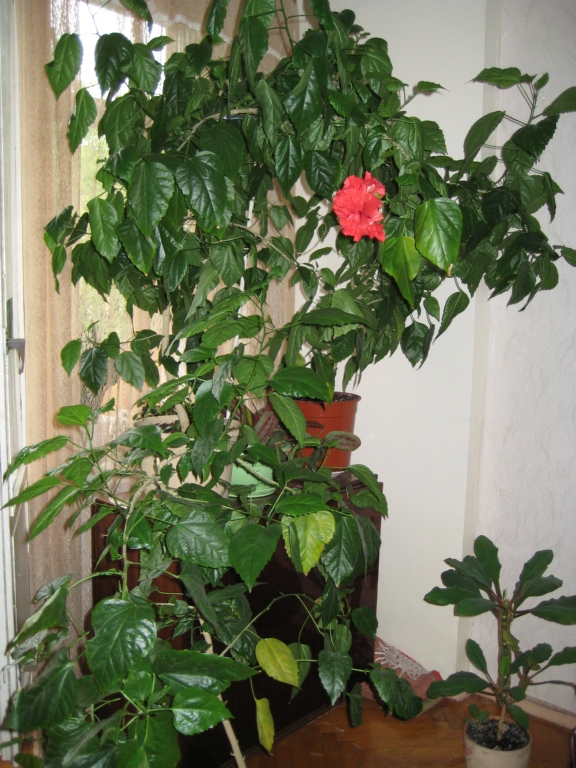 Китайская роза уход в домашних условиях фото: уход в ...