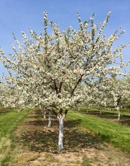 Cherry trees, Door County
