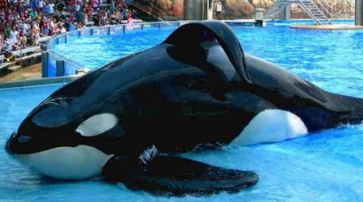 Tilikum public photo available on Pinterest 2016