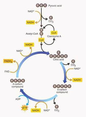Krebs Cycle research | SuperfastIndyfish