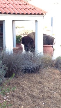A bison who stopped by the lab to nibble on the succulents.