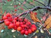 garden rowan berries
