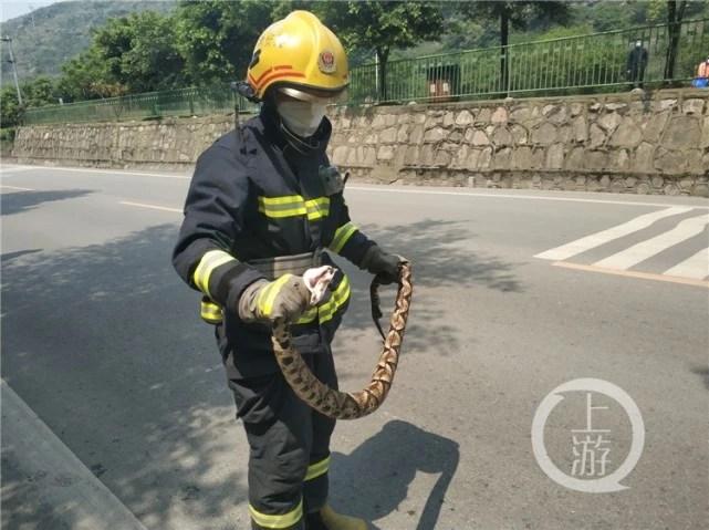 重慶一景區門口驚現五步蛇 跟成年人胳膊一樣粗_大渝網_騰訊網