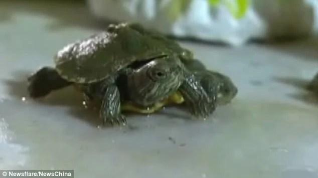 真稀奇!山西驚現變異烏龜 小烏龜雙頭六腳