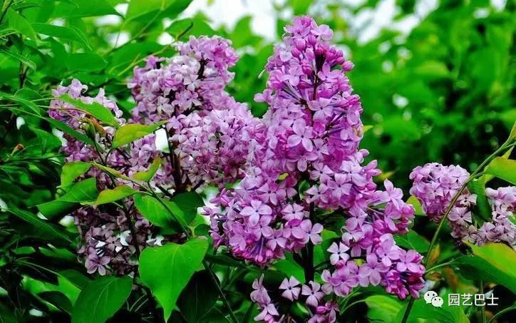 象徵著年輕人的純潔無暇,初戀謙虛的紫丁香!