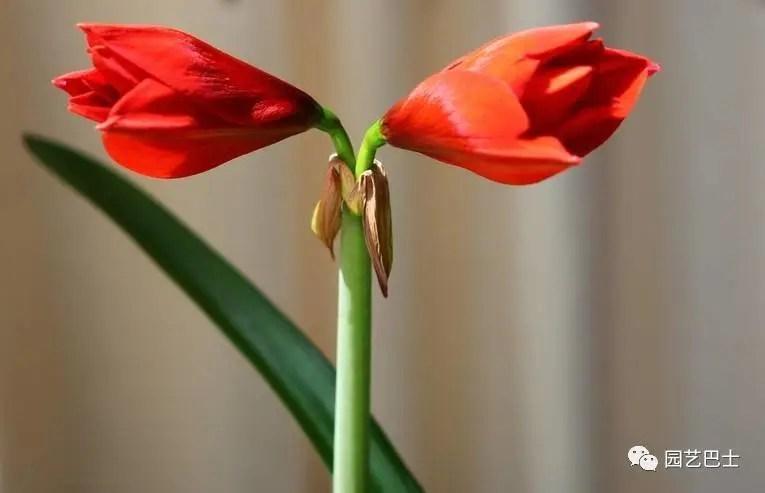 原產秘魯和巴西一帶,花語是渴望被愛的對蘭!