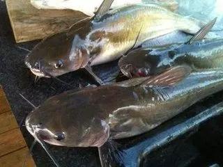 世界竟有這麼大的鯰魚!英國一男子釣到185磅鯰魚