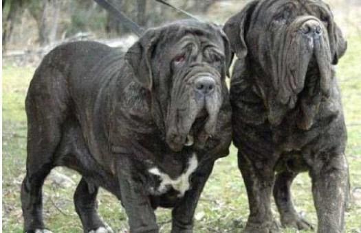 那不勒斯獒與比特犬齊名,是有名的攻擊性犬種! - iFuun