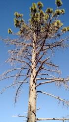 A tree survives stress on Mount Laguna, San Diego County, Sept. 9, 2016. Ingrid Lobet/inewsource.