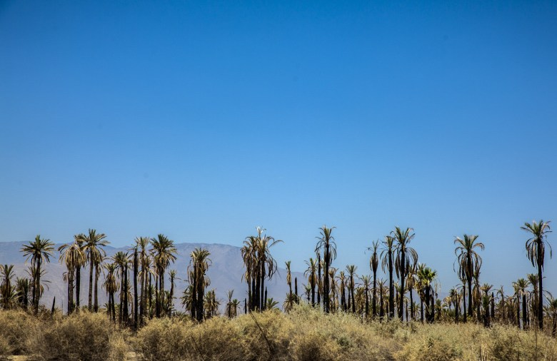 Rows of palm trees stretch across the landscape in California's Eastern Coachella Valley. (Maria Esquinca/News21)