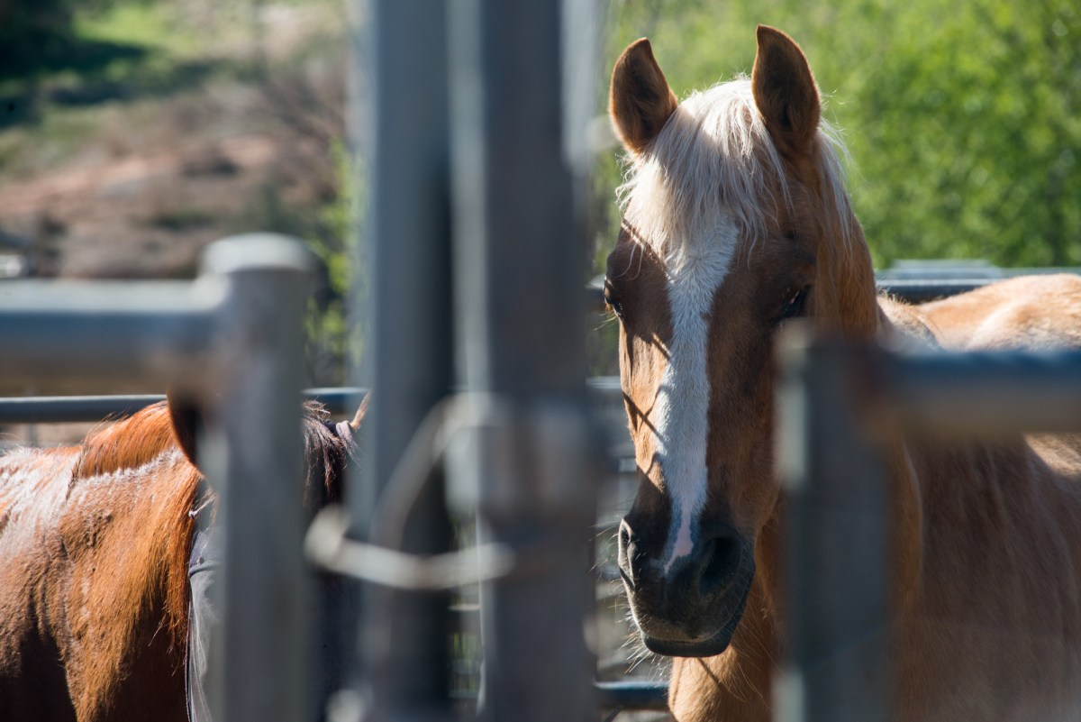 A horse is shown at the HiCaliber Horse Rescue ranch in Valley Center on March 2, 2018.