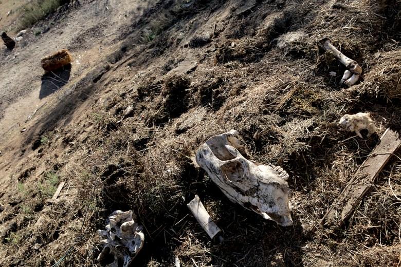 HiCaliber cow skulls