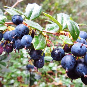 Wild blueberries on a Highland tour
