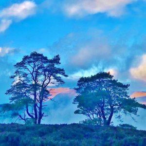 Scots pine trees silhouetted on a hill, Highland Scotland