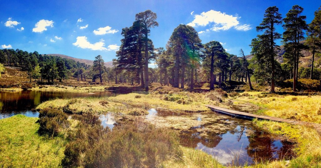 Scots pine trees tower over grasses and a small loch with hills behind, on a sunny day