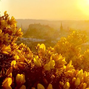 Yellow gorse flowers with Edinburgh Castle in background