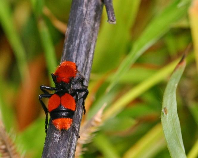 Thistledown Velvet Ants