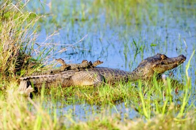 Jacaré com filhotes nas costas – por: Daniel De Granville (PhotoInNatura)