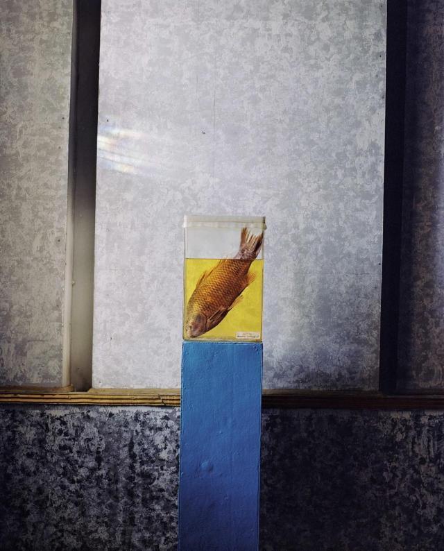 Um sargo é parte de uma exposição permanente de espécies ameaçadas de extinção do Museu de História de Aral, Cazaquistão, um antigo porto de pesca soviético. Carolyn Drake/MAGNUM PHOTOS, 2009