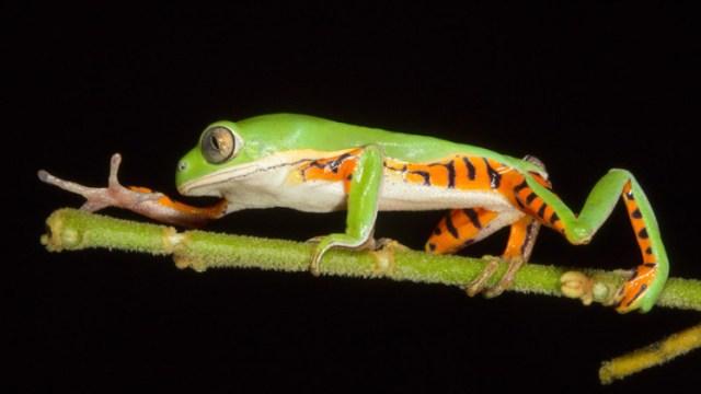 Perereca Phyllomedusa – por: Daniel De Granville (PhotoInNatura)