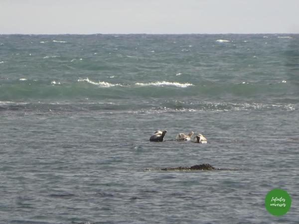 Snaefellsnes focas islandia