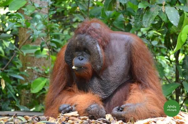 Orangutanes en Tanjung Puting - Orangutanes en Borneo