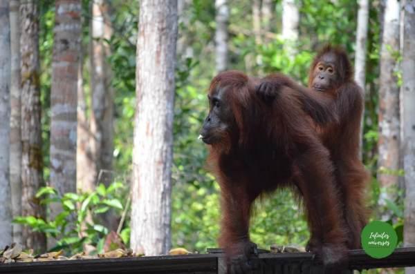 Orangutanes en Tanjung Puting Orangutanes Borneo