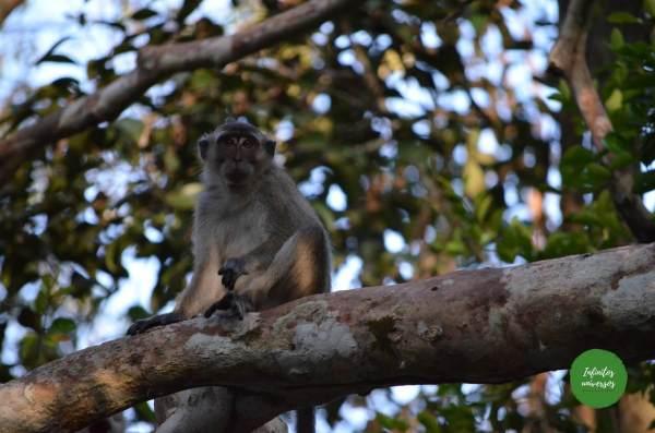 Macaco en Tanjung Puting